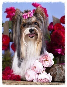 beautiful-yorkshire-terrier-show-coat