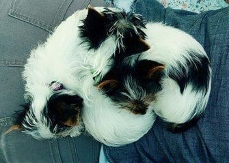 four-biewer-yorkies-sleeping