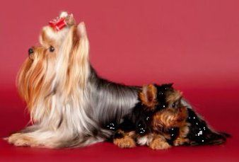 adult vs puppy hair on Yorkshire Terrier