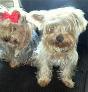 Having two Yorkshire Terriers