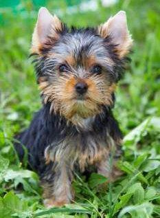 Yorkie puppy outside to house train