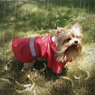 how-to-help-yorkie-tolerate-rain