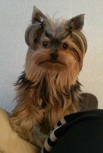 Yorkshire Terrier from Italy