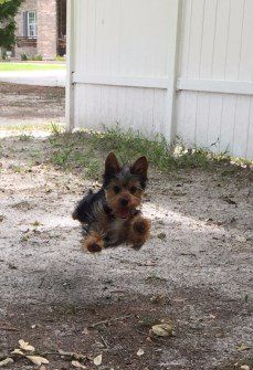 male Yorkshire Terrier jumping