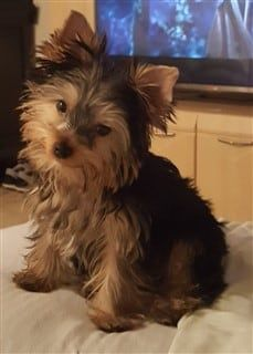 male-yorkshire-terrier-soft-coat