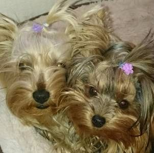 mother and daughter Yorkie dogs