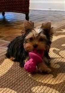 new Yorkie puppy with toy in mouth