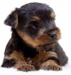Newborn Yorkies | Yorkshire Terrier Information Center