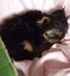 Young Yorkie puppy sleeping, 2 months old