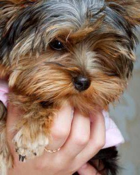 small Yorkie being held