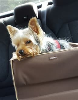 small Yorkie in car seat