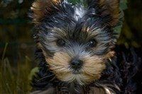 small-yorkie-puppy-