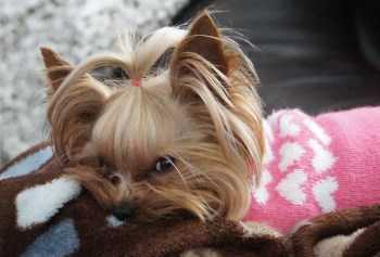 so cute Yorkie puppy