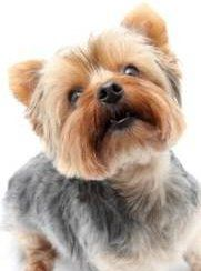 Yorkshire Terrier hair style squared puppy cut
