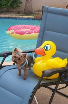 summer Yorkie care