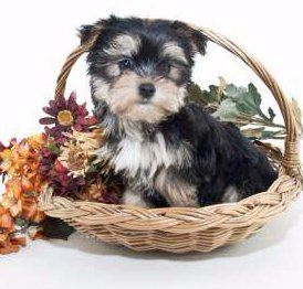 Teacup Miniature And Toy Size Yorkies Yorkshire Terrier Information