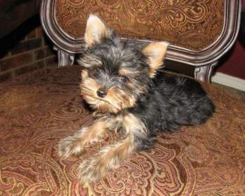 Teddy bear Yorkshire Terrier