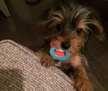 teething Yorkie puppy 5 months old