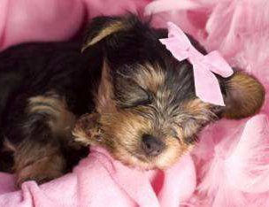 tiny little teacup Yorkie
