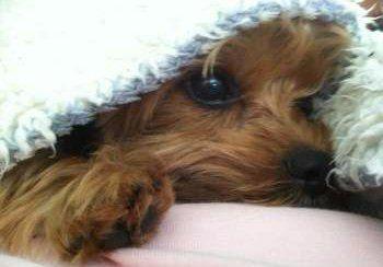 tiny Yorkie dog