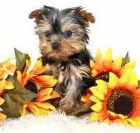 toy sized Yorkshire Terrier