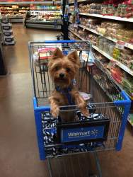 Yorkshire Terrier in shopping cart