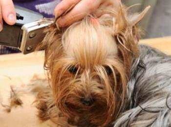 Yorkie Grooming Yorkshire Terrier Information Center