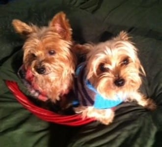 two Yorkshire Terrier dogs in blanket