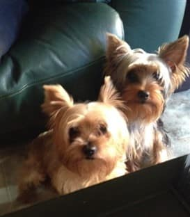two Yorkshire Terrier dog together