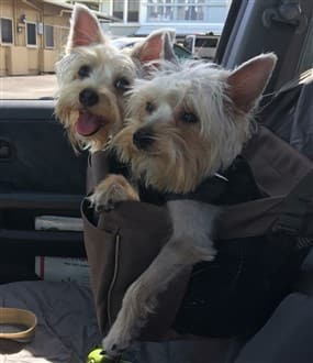 Two Yorkshire Terrier dogs in a car