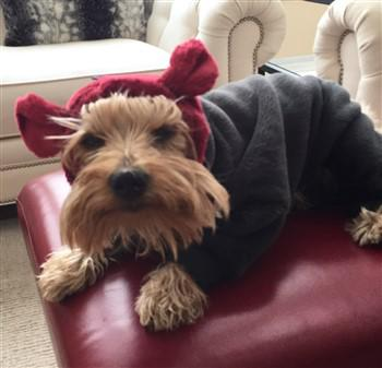 Clothing For Yorkshire Terriers Tiny And Extra Small