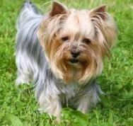 West hair cut Yorkshire Terrier