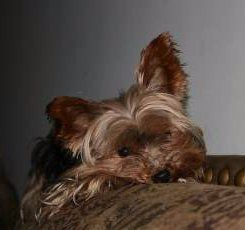 Yorkie dog sleeping on sofa