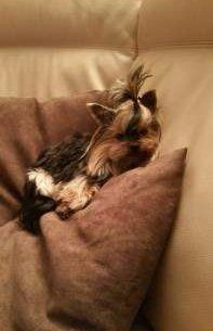 Yorkie up on pillows