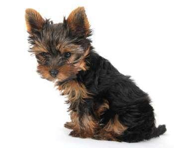 Yorkshire Terrier healthy skin