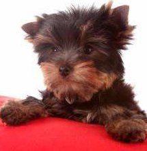 brown and tan Yorkshire Terrier