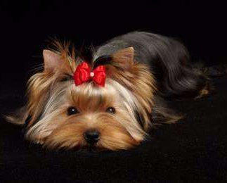 Yorkie laying down red bow