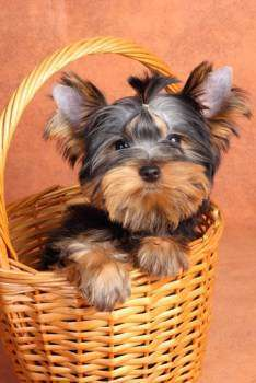 Yorkshire Terrier sitting in wicker basket