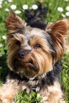 Yorkshire Terrier outside on grass