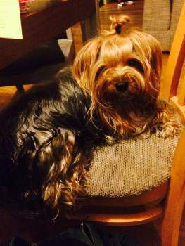 Adult Yorkshire Terrier dog on a chair