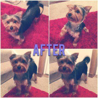 Yorkie after haircut