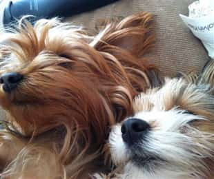two Yorkies sleeping together