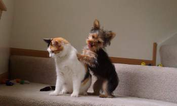 Yorkie playing with cat