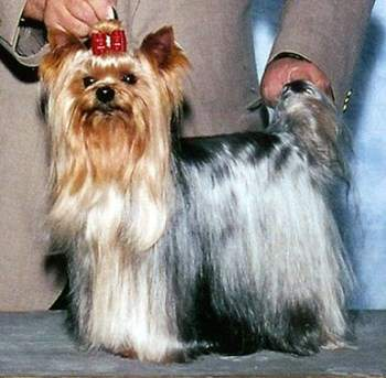 Yorkie at show