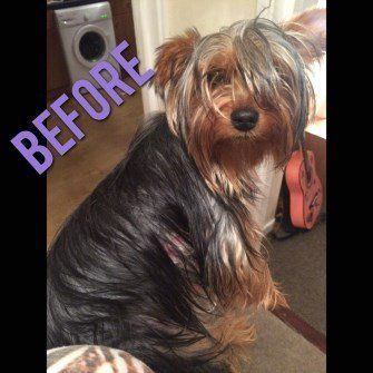 Different Yorkie Haircut Styles Yorkshire Terrier