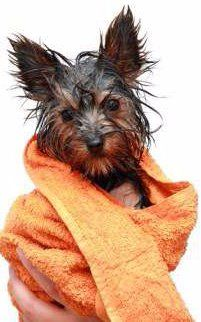Yorkie being dried after bath