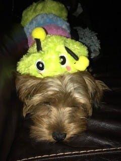 yorkshire terriers on halloween