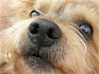 yorkie-close-up-
