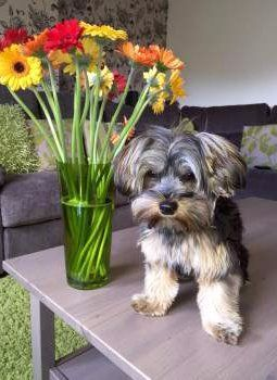 Yorkie dog posing near flower vase
