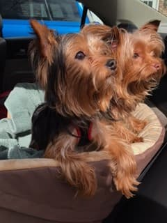 Yorkie dogs in car seat
